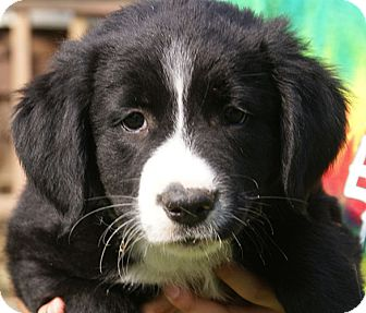 Border Collie/Labrador Retriever Mix Puppy for adoption in Allentown, Pennsylvania - Duke