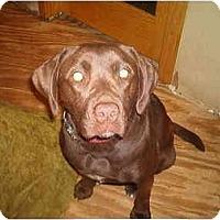 Adopt A Pet :: Chocolate - North Jackson, OH