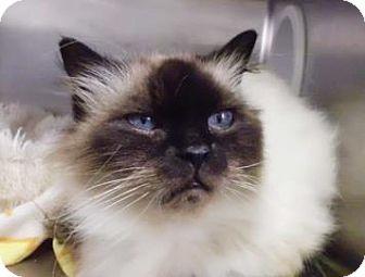 Birman Cat for adoption in Gainesville, Florida - Fiona