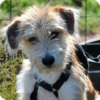 Terrier (Unknown Type, Medium) Mix Dog for adoption in Austin, Texas - Manziel