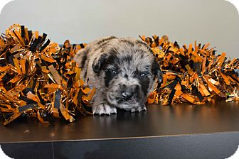 Australian Shepherd Mix Puppy for adoption in Seneca, South Carolina - McDonald $250