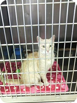 Domestic Shorthair Cat for adoption in Sauk Rapids, Minnesota - Sweety
