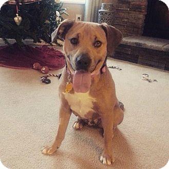 Labrador Retriever Mix Dog for adoption in Franklin, Indiana - Holly