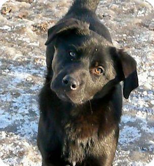 Labrador Retriever Mix Dog for adoption in Liberty Center, Ohio - Porsche