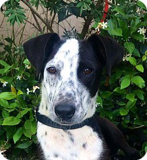 Dalmatian Mix Puppy for adoption in San Diego, California - LEYLA