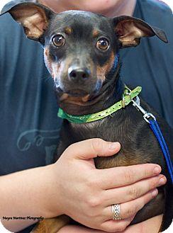 Miniature Pinscher/Manchester Terrier Mix Dog for adoption in Marietta, Georgia - Cain