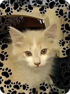 Domestic Mediumhair Kitten for adoption in Pueblo West, Colorado - Maverick