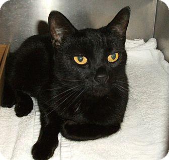 Domestic Shorthair Cat for adoption in El Cajon, California - Nolly