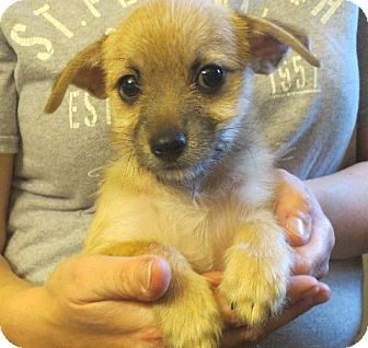 Pomeranian/Chihuahua Mix Puppy for adoption in Rochester, New York - Faye