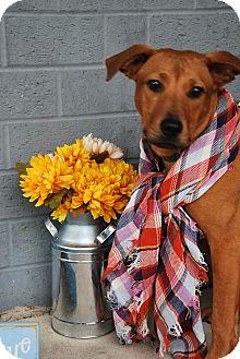 Shepherd (Unknown Type)/Boxer Mix Puppy for adoption in Goldsboro, North Carolina - Jules