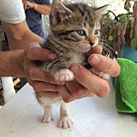 Bengal Kitten for adoption in Sunny Isles Beach, Florida - Tara Bondy