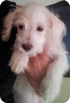 Terrier (Unknown Type, Medium) Mix Puppy for adoption in Phoenix, Arizona - Charlie