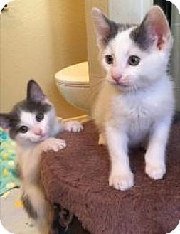 Turkish Van Kitten for adoption in Mission Viejo, California - Michael Milky and Michelle