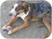 Catahoula Leopard Dog Mix Dog for adoption in Athabasca, Alberta - TUMNUS