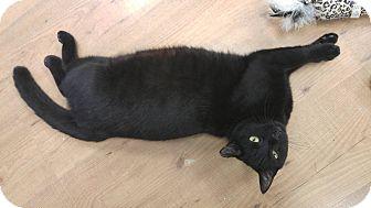 Domestic Mediumhair Cat for adoption in Acushnet, Massachusetts - Eclipse