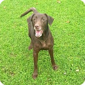 Labrador Retriever Mix Dog for adoption in Janesville, Wisconsin - Clarissa