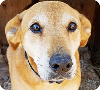Labrador Retriever/Shepherd (Unknown Type) Mix Dog for adoption in Kingston, Tennessee - Sweet Annie
