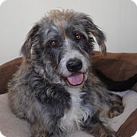 Adopt A Pet :: *Sweet Shay - PENDING - Westport, CT