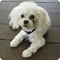 Adopt A Pet :: Buddy - Ft. Lauderdale, FL