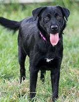 Labrador Retriever/German Shepherd Dog Mix Dog for adoption in Sarasota, Florida - Sissy
