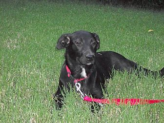 Labrador Retriever Mix Dog for adoption in Mahwah, New Jersey - Sheppie Trail
