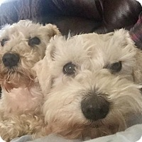 Adopt A Pet :: Clyde and Clancy reduced fee! - Brattleboro, VT