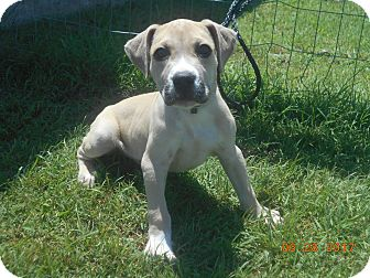 Mountain Cur/Boxer Mix Puppy for adoption in haslet, Texas - buck