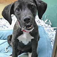 Adopt A Pet :: Addy - Mt. Prospect, IL