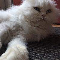 Adopt A Pet :: Peto The White Walker - Toronto, ON