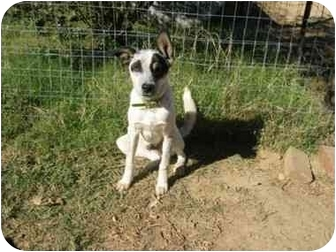 Basenji/Cattle Dog Mix Dog for adoption in Portsmouth, Rhode Island - Fred