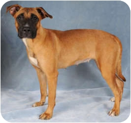 Boxer/Hound (Unknown Type) Mix Puppy for adoption in Chicago, Illinois - Sugar*ADOPTED!*