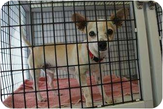 Chihuahua Mix Dog for adoption in Yuba City, California - Winston