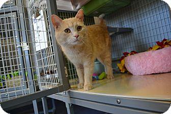 Domestic Shorthair Cat for adoption in Edwardsville, Illinois - Cream Puff