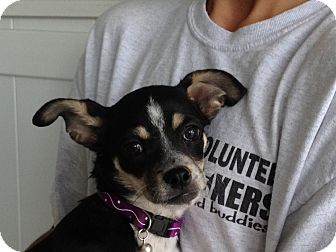 Boston Terrier/Chihuahua Mix Puppy for adoption in Reno, Nevada - Ellys