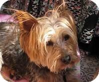 Yorkie, Yorkshire Terrier Dog for adoption in Fremont, Nebraska - Oliver