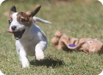 Beagle/Corgi Mix Puppy for adoption in Greenville, South Carolina - Heidi