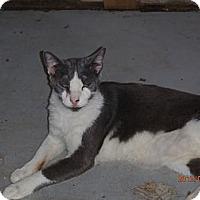 Adopt A Pet :: HaiKu - Port Richey, FL
