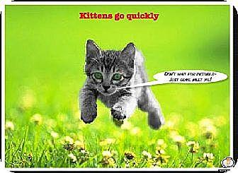 Domestic Shorthair Kitten for adoption in Bradenton, Florida - Kittens, Kittens, Kittens