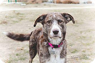 Chesapeake Bay Retriever Mix Dog for adoption in Seattle, Washington - Willow