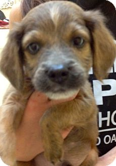 Spaniel (Unknown Type) Mix Puppy for adoption in Thousand Oaks, California - Onix