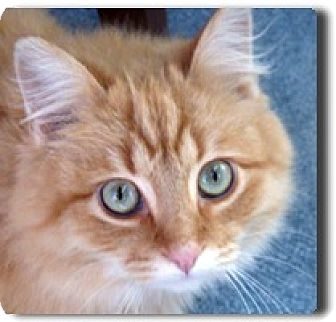 Maine Coon Kitten for adoption in Oakland, California - Brownie