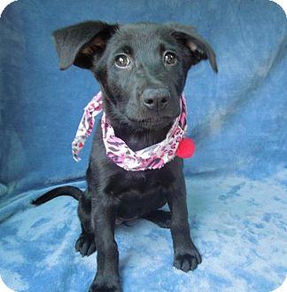 Labrador Retriever/German Shepherd Dog Mix Puppy for adoption in Charlotte, North Carolina - Missil