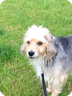 Terrier (Unknown Type, Small) Mix Dog for adoption in Schaumburg, Illinois - Benny