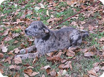 Australian Shepherd/Australian Cattle Dog Mix Puppy for adoption in Bedminster, New Jersey - Claire