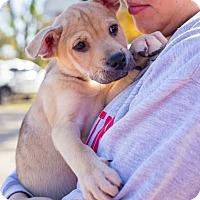Adopt A Pet :: Fanta - Austin, TX