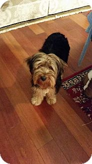Silky Terrier Dog for adoption in Providence, Rhode Island - Ralley-URGENT
