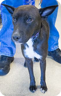 Miniature Pinscher Mix Dog for adoption in Loudonville, New York - Snickers
