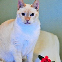 Siamese Cat for adoption in Duluth, Georgia - Buttercup