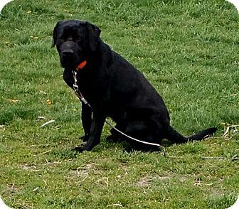 Labrador Retriever Mix Puppy for adoption in Macomb, Illinois - Rus