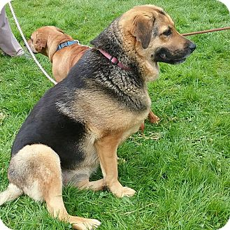 Shepherd (Unknown Type) Mix Dog for adoption in Shelter Island, New York - Zoe